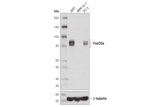 Western Blotting Image 1: FoxO3a (D7D3Y) Mouse mAb