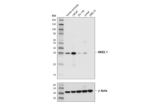 Western blot analysis of extracts from human prostate and various cell lines using NKX3.1 (D2Y1A) XP<sup>®</sup> Rabbit mAb (upper) and β-Actin (D6A8) Rabbit mAb #8457 (lower). DND-41 cell are negative for NKX3.1 expression, confirming specificity of the antibody.
