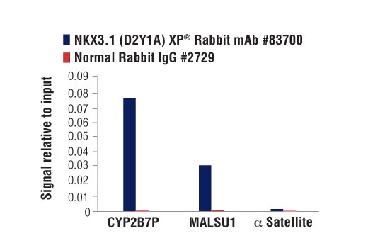 Chromatin immunoprecipitations were performed with cross-linked chromatin from LNCaP cells and either NKX3.1 (D2Y1A) XP<sup>®</sup> Rabbit mAb or Normal Rabbit IgG #2729 using SimpleChIP<sup>®</sup> Enzymatic Chromatin IP Kit (Magnetic Beads) #9003. The enriched DNA was quantified by real-time PCR using SimpleChIP<sup>®</sup> Human CYP2B7P Pseudogene Promoter Primers #84846, human MALSU1 downstream primers, and SimpleChIP<sup>®</sup> Human α Satellite Repeat Primers #4486. The amount of immunoprecipitated DNA in each sample is represented as signal relative to the total amount of input chromatin, which is equivalent to one.