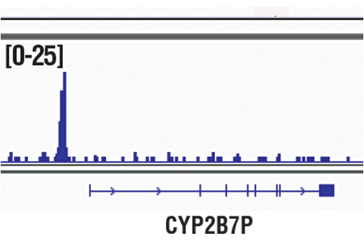 Chromatin immunoprecipitations were performed with cross-linked chromatin from LNCaP cells and NKX3.1 (D2Y1A) XP<sup>®</sup> Rabbit mAb, using SimpleChIP<sup>®</sup> Plus Enzymatic Chromatin IP Kit (Magnetic Beads) #9005. DNA Libraries were prepared using SimpleChIP<sup>®</sup> ChIP-seq DNA Library Prep Kit for Illumina<sup>®</sup> #56795. The figure shows binding across CYP2B7P, a known target gene of NKX3.1 (see additional figure containing ChIP-qPCR data). For additional ChIP-seq tracks, please download the product data sheet.