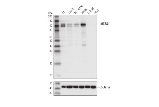Western blot analysis of extracts from various cell lines using MTSS1 (D2H4L) XP<sup>®</sup> Rabbit mAb (upper) and β-Actin (D6A8) Rabbit mAb #8457 (lower). U-2 OS and HeLa cells are negative for MTSS1 expression, confirming specificity of the antibody.