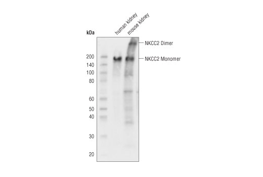 Polyclonal Antibody Western Blotting Potassium Ion Symporter Activity - count 2