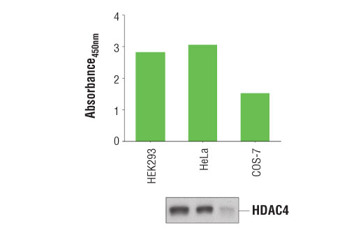 Figure 1. Detection of HDAC4 protein in the various cells is examined by using the PathScan<sup>®</sup> Total HDAC4 Sandwich ELISA Kit. The absorbance readings at 450 nm are shown in the top figure, while the corresponding Western blot using</p><p>HDAC4 (D15C3) Rabbit mAb #7628 is shown in the bottom figure.