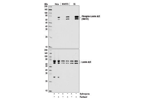 Western blot analysis of extracts from HeLa, NIH/3T3, and C6 cells, treated with either hydroxyurea (4 mM, 20 hr; +) to induce G1/S phase or Paclitaxel #9807 (100 nM, 20 hr; +) to induce G2/M phase, using Phospho-Lamin A/C (Ser22) (D2B2E) XP<sup>®</sup> Rabbit mAb (upper) and Lamin A/C Antibody #2032 (lower).