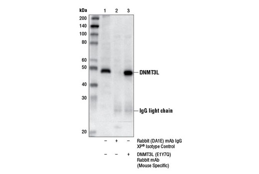 Immunoprecipitation Image 1: DNMT3L (E1Y7Q) Rabbit mAb (Mouse Specific)
