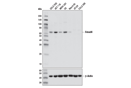 Western blot analysis of extracts from various cell lines using Smad4 (D3M6U) Rabbit mAb (upper) and β-Actin (D6A8) Rabbit mAb #8457 (lower). HT-29 and COLO 205 are Smad4-null mutant cell lines, confirming specificity of the antibody.