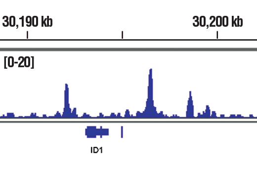 Chromatin immunoprecipitations were performed with cross-linked chromatin from HaCaT cells treated with TGF-β1 #8915 (7 ng/mL, 1 hr) and Smad4 (D3M6U) Rabbit mAb, using SimpleChIP<sup>®</sup> Plus Enzymatic Chromatin IP Kit (Magnetic Beads) #9005. DNA Libraries were prepared using SimpleChIP<sup>®</sup> ChIP-seq DNA Library Prep Kit for Illumina<sup>®</sup> #56795. The figure shows binding across ID1, a known target gene of Smad4 (see additional figure containing ChIP-qPCR data). For additional ChIP-seq tracks, please download the product data sheet.