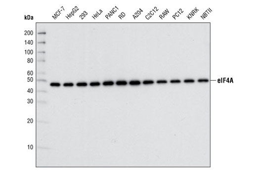 Western blot analysis of extracts from various cell types using eIF4A (C32B4) Rabbit mAb.