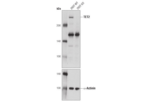 Western blot analysis of extracts from TET2 wild-type (WT) and knockout (KO) 293T cell lines using TET2 Antibody (upper) and α-Actinin (D6F6) XP<sup>®</sup> Rabbit mAb #6487 (lower).