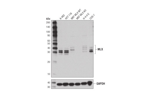 Western blot analysis of extracts from MLX wild-type (WT) and knockout (KO) mouse embryonic fibroblasts (MEF) and various cell lysates using MLX (D8G6W) Rabbit mAb (upper) and GAPDH (D16H11) XP<sup>®</sup> Rabbbit mAb #5174 (lower). MLX WT and KO MEF were kindly provided by Dr. Robert Eisenman at the Fred Hutchinson Cancer Research Center.