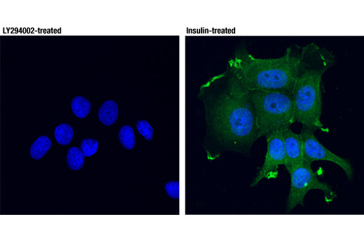 Confocal immunofluorescent analysis of MCF7 cells, either treated with LY294002 #9901 (50 μM, 2hrs; left) or treated with insulin (100 nM, 15 min; right), using Phospho-Akt (Thr308) (D25E7) XP<sup>®</sup> Rabbit mAb (Alexa Fluor<sup>®</sup> 488 Conjugate) (green). Blue pseudocolor = DRAQ5<sup>®</sup> #4084 (fluorescent DNA dye).