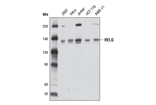 Western blot analysis of extracts from various cell lines using HELQ (D4K2O) Rabbit mAb.