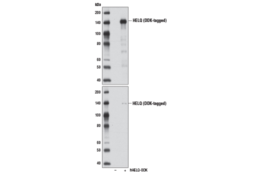 Western blot analysis of extracts from 293T cells, mock transfected (-) or transfected with a construct expressing DDK-tagged full-length human HELQ (hHELQ-DDK; +), using HELQ (D4K2O) Rabbit mAb (upper) or DYKDDDDK Tag (D6W5B) Rabbit mAb #14793 (lower).