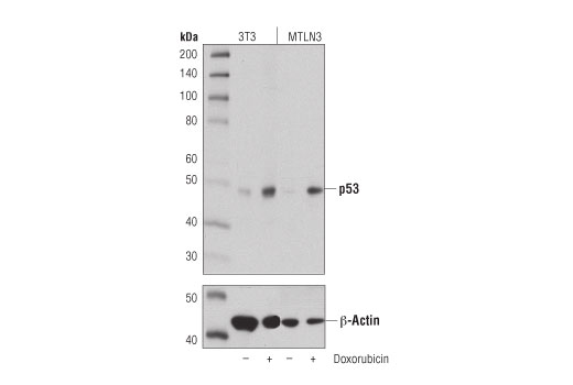 Western blot analysis of extracts from 3T3 and MTLN3 cells, untreated (-) or treated with doxorubicin (0.5 μM; 24 hr; +), using p53 (D2H9O) Rabbit mAb (Rodent Specific) (upper) or β-Actin (D6A8) Rabbit mAb #8457 (lower).