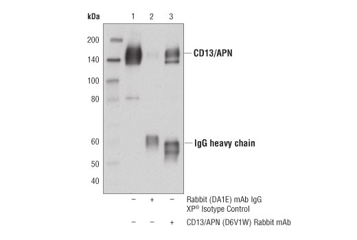 Image 32: Coronavirus Host Cell Attachment and Entry Antibody Sampler Kit