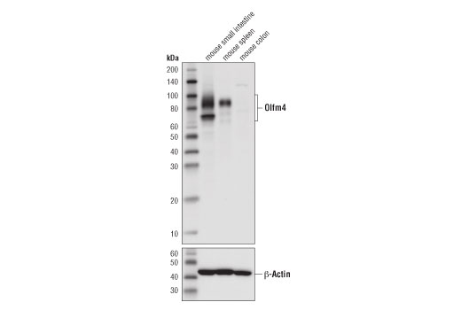 Western blot analysis of extracts from mouse small intestine (positive), mouse spleen (positive), and mouse colon (negative) using Olfm4 (D6Y5A) XP<sup>®</sup> Rabbit mAb (Mouse Specific) (upper) and β-Actin (D6A8) Rabbit mAb #8457 (lower).