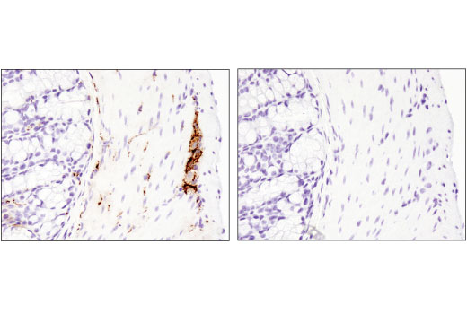 Immunohistochemical analysis of paraffin-embedded mouse colon using VIP (D8J1V) Rabbit mAb (IHC Formulated) in the presence of control peptide (left) or antigen-specific peptide (right).