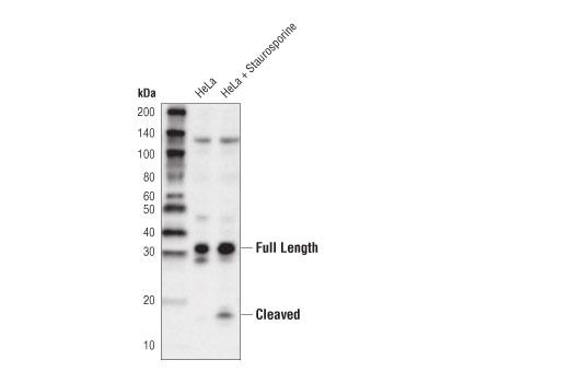 Monoclonal Antibody - Caspase-3 (8G10) Rabbit mAb (HRP Conjugate), UniProt ID P42574, Entrez ID 836 #29629 - Apoptosis