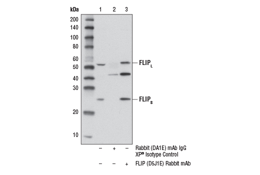 Immunoprecipitation of FLIP from KARPAS-299 cell extracts. Lane 1 represents 10% input, lane 2 is precipitated with Rabbit (DA1E) mAb IgG XP<sup>®</sup> Isotype Control #3900, and lane 3 is FLIP (D5J1E) Rabbit mAb. Western blot was performed using FLIP (D5J1E) Rabbit mAb. A conformation specific secondary antibody was used to avoid cross reactivity with IgG. KARPAS cell line source: Dr. Abraham Karpas at the University of Cambridge.