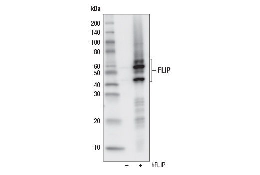 Western blot analysis of extracts from 293T cells, mock transfected (-) or transfected with a construct expressing full-length human FLIP (hFLIP; +), using FLIP (D5J1E) Rabbit mAb.