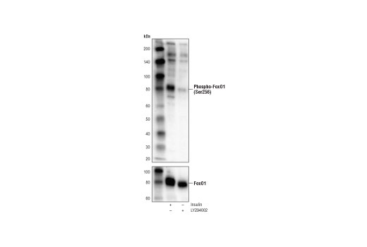 Western blot analysis of extracts from C2C12 cells, insulin-treated (100 nM, 15 min) or LY294002-treated #9901 (50 μM, 2 hr), using Phospho-FoxO1 (Ser256) (E1F7T) Rabbit mAb (upper) or FoxO1 (C29H4) Rabbit mAb #2880 (lower).