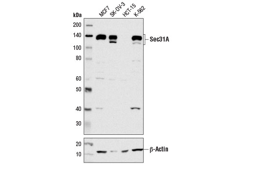 Western blot analysis of extracts from various cell lines using Sec31A (D1G7I) Rabbit mAb (upper) and β-Actin (D6A8) Rabbit mAb #8457 (lower).