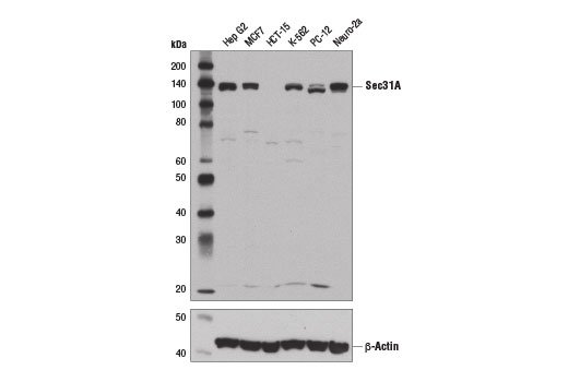 Western blot analysis of extracts from various cell lines using Sec31A (E1J5M) Rabbit mAb (upper) and β-Actin (D6A8) Rabbit mAb #8457 (lower).