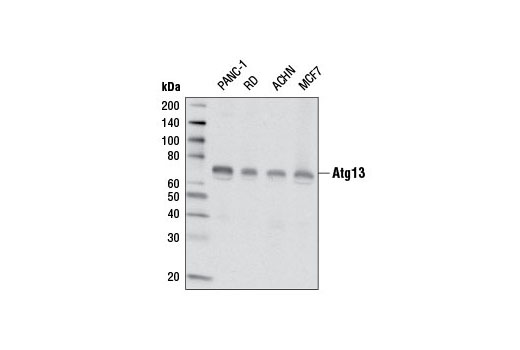 Western blot analysis of extracts from various cell lines using Atg13 (E1Y9V) Rabbit mAb.