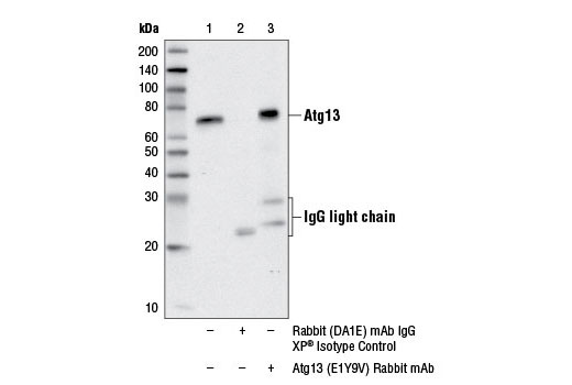 Immunoprecipitation Image 1: Atg13 (E1Y9V) Rabbit mAb