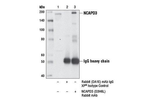 Monoclonal Antibody - NCAPD3 (D3H6L) Rabbit mAb - Immunoprecipitation, Western Blotting, UniProt ID P42695, Entrez ID 23310 #13473, Cell Cycle / Checkpoint Control