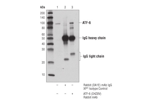Immunoprecipitation of ATF-6 from 293T cell extracts. Lane 1 is 10% input, lane 2 is Rabbit (DA1E) mAb IgG XP<sup>®</sup> Isotype Control #3900, and lane 3 is ATF-6 (D4Z8V) Rabbit mAb. Western blot analysis was performed using ATF-6 (D4Z8V) Rabbit mAb.