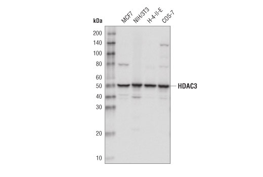 Western blot analysis of extracts from various cell lines using HDAC3 (D2O1K) Rabbit mAb.
