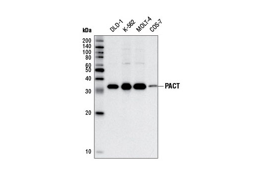 Western blot analysis of extracts from various cell lines using PACT (D9N6J) Rabbit mAb.