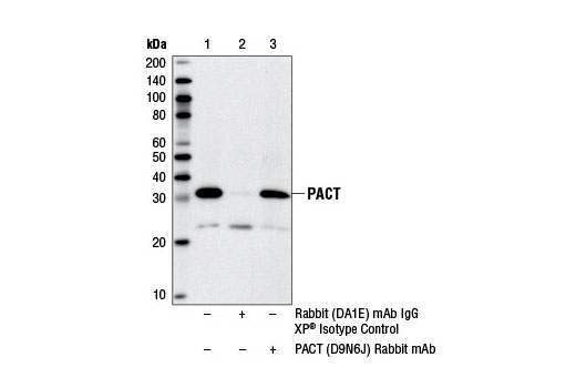 Immunoprecipitation of PACT from DLD-1 cell extracts using Rabbit (DA1E) mAb IgG XP<sup>®</sup> Isotype Control #3900 (lane 2) or PACT (D9N6J) Rabbit mAb (lane 3). Lane 1 is 10% input. Western blot analysis was performed using PACT (D9N6J) Rabbit mAb.