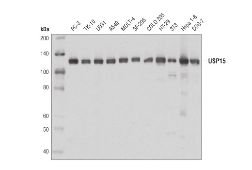 Western blot analysis of extracts from various cell lines using USP15 (D1K6S) Rabbit mAb.