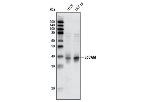 Western blot analysis of extracts from HT-29 and HCT-15 cells using EpCAM (VU1D9) Mouse mAb.