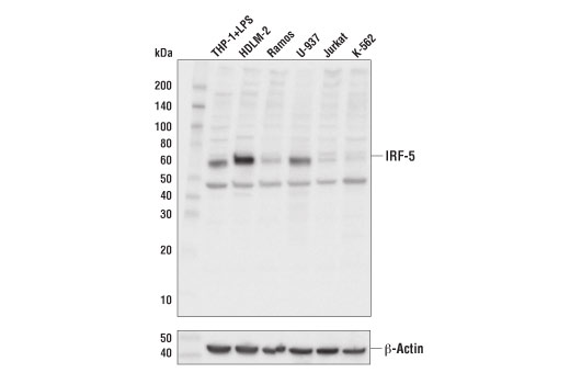 Western blot analysis of extracts from various cell lines using IRF-5 (E1N9G) Rabbit mAb (upper) and β-Actin (D6A8) Rabbit mAb #8457 (lower).