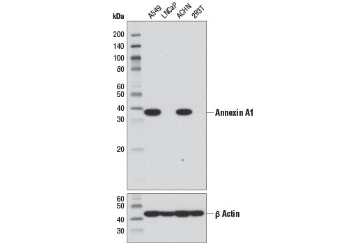 Western blot analysis of extracts from various cell lines using Annexin A1 (D5V2T) XP<sup>®</sup> Rabbit mAb (upper) and β-Actin (D6A8) Rabbit mAb #8457 (lower).