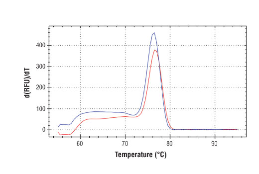 PCR product melting curves were obtained for real-time PCR reactions performed using SimpleChIP<sup>®</sup> Mouse USP31 Promoter Primers. Data is shown for both duplicate PCR reactions using 20 ng of total DNA. The melt curve consists of 80 melt cycles, starting at 55°C with increments of 0.5°C per cycle. Each peak is formed from the degradation of a single PCR product.