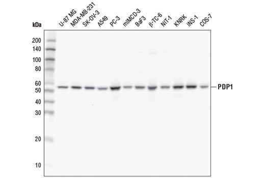 Western blot analysis of extracts from various cell lines using PDP1 (D8Y6L) Rabbit mAb.