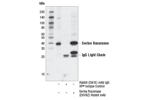 Immunoprecipitation of serine racemase from mouse brain extracts. Lane 1 is 10% input, lane 2 is Rabbit (DA1E) mAb IgG XP<sup>®</sup> Isotype Control #3900, and lane 3 is Serine Racemase (D5V9Z) Rabbit mAb. Western blot analysis was performed using Serine Racemase (D5V9Z) Rabbit mAb.