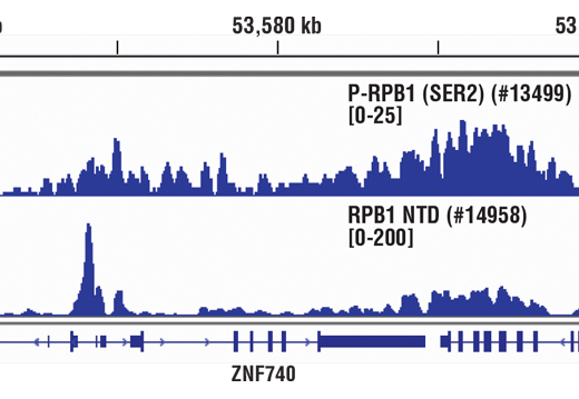 Chromatin immunoprecipitations were performed with cross-linked chromatin from Hela cells and either Phospho-Rpb1 CTD (Ser2) (E1Z3G) Rabbit mAb or Rpb1 NTD (D8L4Y) Rabbit mAb 314958, using SimpleChIP<sup>®</sup> Enzymatic Chromatin IP Kit (Magnetic Beads) #9003. DNA Libraries were prepared using SimpleChIP<sup>®</sup> ChIP-seq DNA Library Prep Kit for Illumina<sup>®</sup> #56795. The figure shows binding across the ZNF740 gene on chromosome 12. For additional ChIP-seq tracks, please download the product data sheet.
