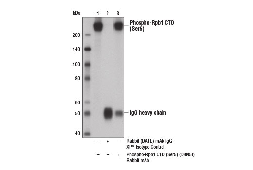 Immunoprecipitation of Rpb1 from HeLa cell extracts using Rabbit (DA1E) mAb IgG XP<sup>®</sup> Isotype Control #3900 (lane 2) or Phospho-Rpb1 CTD (Ser5) (D9N5I) Rabbit mAb (lane 3). Lane 1 is 10% input. Western blot analysis was performed using Phospho-Rpb1 CTD (Ser5) (D9N5I) Rabbit mAb.