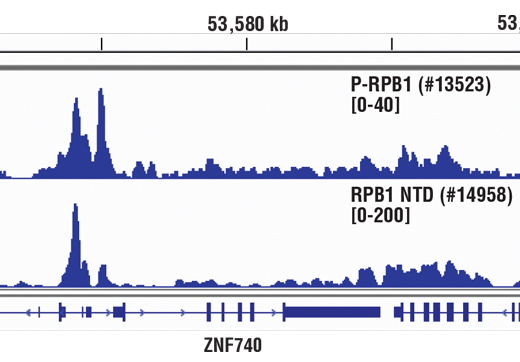 Chromatin immunoprecipitations were performed with cross-linked chromatin from Hela cells and either Phospho-Rpb1 CTD (Ser5) (D9N5I) Rabbit mAb or Rpb1 NTD (D8L4Y) Rabbit mAb #14958, using SimpleChIP<sup>®</sup> Enzymatic Chromatin IP Kit (Magnetic Beads) #9003. DNA Libraries were prepared using SimpleChIP<sup>®</sup> ChIP-seq DNA Library Prep Kit for Illumina<sup>®</sup> #56795. The figure shows binding across the ZNF740 gene on chromosome 12. For additional ChIP-seq tracks, please download the product data sheet.