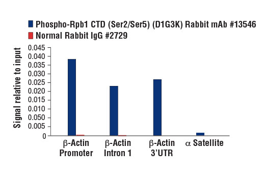 Chromatin immunoprecipitations were performed with cross-linked chromatin from HeLa cells and either Phospho-Rpb1 CTD (Ser2/Ser5) (D1G3K) Rabbit mAb or Normal Rabbit IgG #2729 using SimpleChIP<sup>®</sup> Enzymatic Chromatin IP Kit (Magnetic Beads) #9003. The enriched DNA was quantified by real-time PCR using SimpleChIP<sup>®</sup> Human β-Actin Promoter Primers #13653, human Β-Actin intron 1 primers, SimpleChIP<sup>®</sup> Human β-Actin 3' UTR Primers #13669, and SimpleChIP<sup>®</sup> Human α Satellite Repeat Primers #4486. The amount of immunoprecipitated DNA in each sample is represented as signal relative to the total amount of input chromatin, which is equivalent to one.
