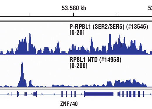 Chromatin immunoprecipitations were performed with cross-linked chromatin from Hela cells and either Phospho-Rpb1 CTD (Ser2/Ser5) (D1G3K) Rabbit mAb or Rpb1 NTD (D8L4Y) Rabbit mAb #14958, using SimpleChIP<sup>®</sup> Enzymatic Chromatin IP Kit (Magnetic Beads) #9003. DNA Libraries were prepared using SimpleChIP<sup>®</sup> ChIP-seq DNA Library Prep Kit for Illumina<sup>®</sup> #56795. The figure shows binding across the ZNF740 gene on chromosome 12. For additional ChIP-seq tracks, please download the product data sheet.
