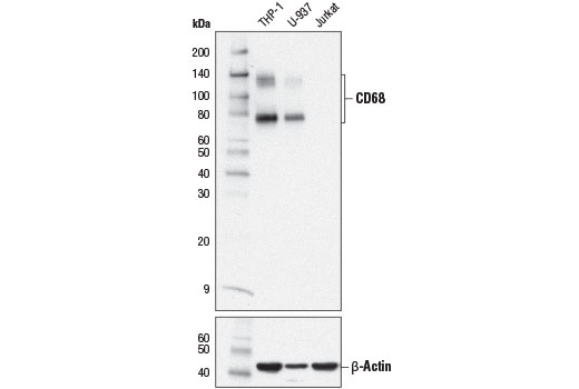 Western blot analysis of extracts from THP-1, U-937, and Jurkat cells using CD68 MultiMab™ Rabbit mAb mix (upper) or β-Actin (D6A8) Rabbit mAb #8457 (lower).