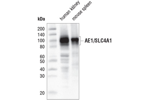 Monoclonal Antibody Western Blotting Anion Transmembrane Transporter Activity
