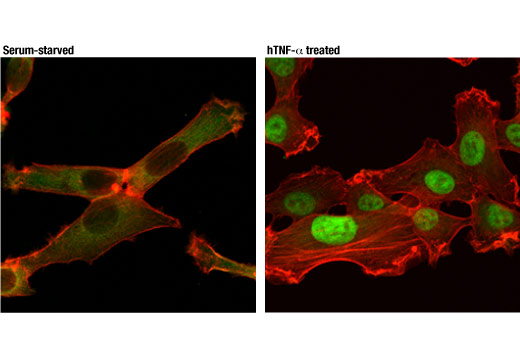 Confocal immunofluorescent analysis of HT-1080 cells, serum starved overnight (left) or treated with hTNF-α (20 ng/mL, 30 min; right), using NF-κB p65 (D14E12) XP<sup>®</sup> Rabbit mAb (Alexa Fluor<sup>®</sup> 488 Conjugate) (green). Actin filaments were labeled with DyLight™ 554 Phalloidin #13054 (red).