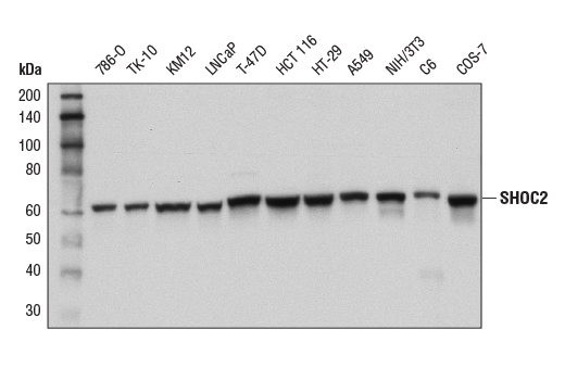Monoclonal Antibody Western Blotting Protein Phosphatase Regulator Activity - count 20